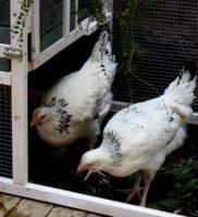 Arrivée des poules Mars 2015 (3) – Copie