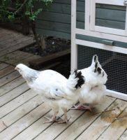 Arrivée des poules Mars 2015 (4) – Copie